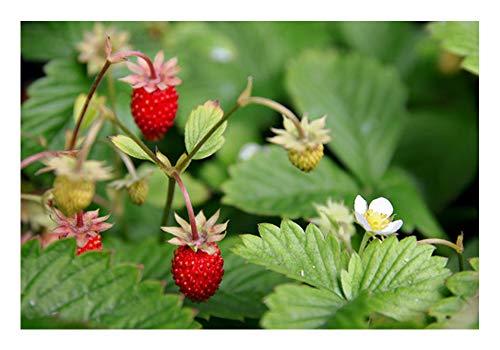 3 Stück Wald-Erdbeeren im Topf (Fragaria vesca) sehr aromatisch