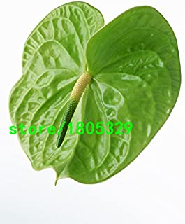 Rare Flower Seeds Green Anthurium Seeds Balcony Potted Flower Seeds Purifying air DIY Home Garden Plants 100PCS