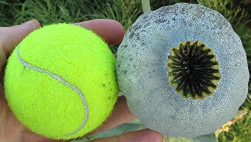 Asklepios-seeds® - 1000 Samen Papaver somniferum giganteum, Schlafmohn, RiesenMohn