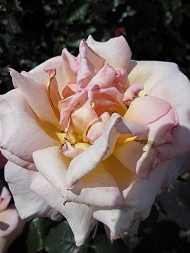 Kletterrose Compassion® - Rosa Compassion® - lachsorange - Duft+ - Harkness-Rose - ADR-Rose