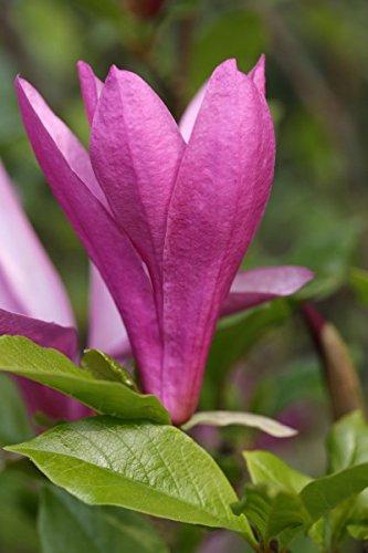 Magnolie `Susan´, Magnolia liliiflora, mehrfach verzweigt, ca.100cm im Topf