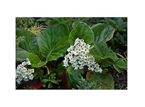 Stk - 6x Bergenie Bressingham White -Garten Pflanzen K-P368 - Seeds Plants Shop Samenbank Pfullingen Patrik Ipsa