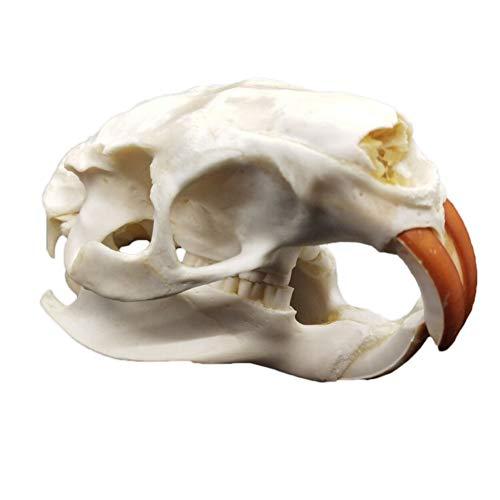 VIEUR Real Nutria Cráneo Cráneo Altaica Mustela Muestra Esqueleto Decoración Adornos Wenwan Personal Colección,B