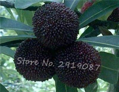 SEEDSOWN 10 pièces/Sac Noir et Rouge Doux rubra Graines rares graines d'arbres fruitiers Exotiques organiques comestibles, graines d'arbres de Paille