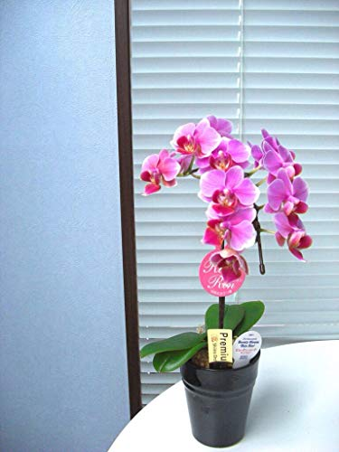 胡蝶蘭 リンリン 1本立ち(こちょうらん) 胡蝶蘭 生花 鉢花 ギフト 光触媒 髪飾り 産地直送