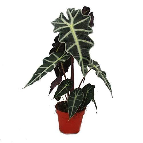 Pfeilblatt - Alocasia sanderiana - Tropenwurz - Alokasie