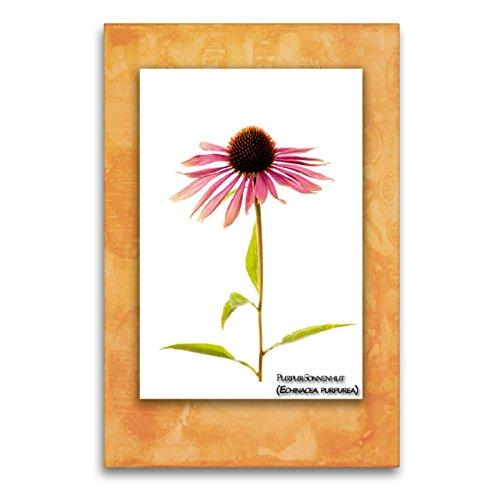 Premium Textil-Leinwand 60 x 90 cm Hoch-Format Purpur-Sonnenhut (Echinacea purpurea)   Wandbild, HD-Bild auf Keilrahmen, Fertigbild auf hochwertigem Vlies, Leinwanddruck von Georg Hanf