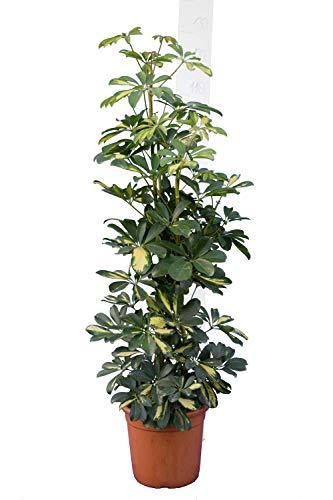 ZIMMERPFLANZE Strahlenaralie - Schefflera Arboricola Gold Capella - Gesamthöhe 120-140 cm Topf Ø 26cm