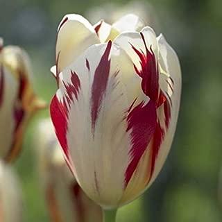 Grand Perfection Tulip Bulbs - 10 Tulip Bulbs,topsize