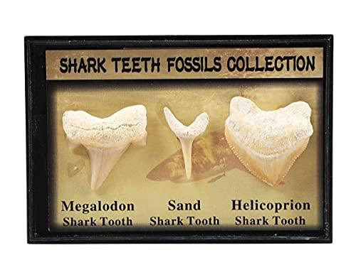 Set di 3 autentici denti di squalo preistorici veri fossili con carta, dente di squalo Megalodon, dente di squalo di sabbia e kit per la raccolta e l'istruzione