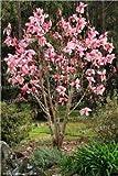 GETSO 30PCS Magnolia Bonsai, Luce Albero profumato Giardino, Magnolia Fiori per Il Giardino Domestico di Piante Ornamentali Fai da Te: 3