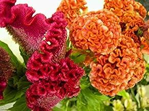Semillas BloomGreen Co. Flor: Semillas Cresta de gallo Onam pookalam de Plantas Jardín Balcón Cámara de flores de jardín (8 paquetes) Las semillas de las plantas de jardín
