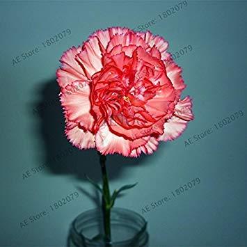 VISTARIC Lila: 100pcs / bag riesigen Hibiskus Samen Speiseteller Hibiscus Perennial Blume schöne Bonsai-Pflanzen für Haus Garten Lila Einpflanzen