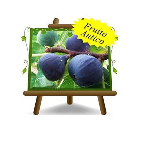 Feige Türkisch - Obstpflanze alte Frucht auf Blumentopf 26 Baum max 200 cm – 4 Jahre Anbau Italien
