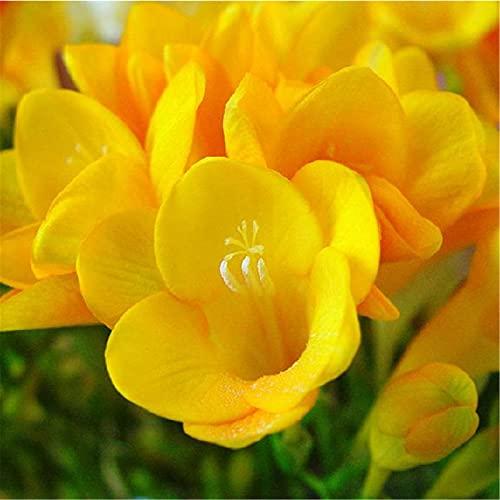 Bulbos de fresia,Balcón perenne Balcón de raíz especial en maceta Precioso Encanto-5Bulbos