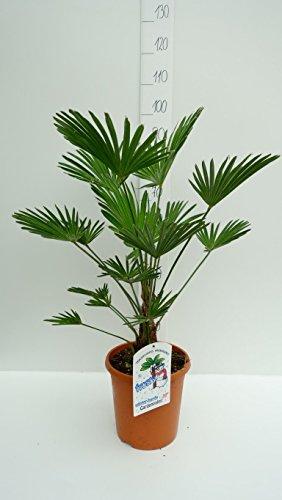Trachycarpus wagnerianus, Hanfpalme, Palme, Winterhart - verschiedene Größen (80-100cm Stamm 15+cm - Topf Ø 26 cm)