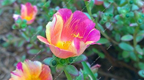 Graine coloré Portulaca, rose moussue Graine pourpier Double Flower Heat Tolerant, facile Semer des graines de fleurs en plein air 100 pcs / lot 3