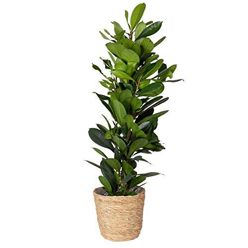 Pflanzen Kölle Afrikanische Feige inkl. Korb Osaka, Ficus cyathistipula, Höhe ca. 80-110 cm