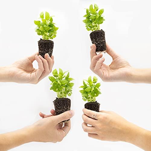 Miniplantas - Planteles Albahaca, 4 Uds.