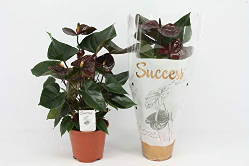 Planta de interior de Botanicly – Anturios – Altura: 45 cm – Anthurium Giant Chocolate