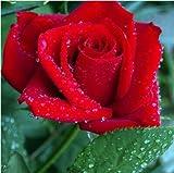 SONIRY Graines Paquet: 200pcs Hollande Rainbow Rose Rare Graine de bonsaïs coloré...