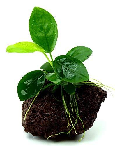 Aquarium Pflanze Feucht-Terrarium Pflanze 2297 Anubias nana - Ableger auf Lavastein