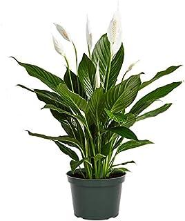 Lirio de la Paz Spathiphyllum Planta de Interior 35cm Altura en Maceta de 12cm Planta Natural con Flor Blanca