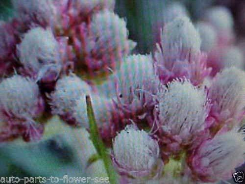 Niedrige Bodendecker pussytoes Blumensamen