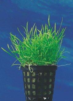 WFW wasserflora Mauritius-Graspflanze/Lilaeopsis mauritiana im Topf