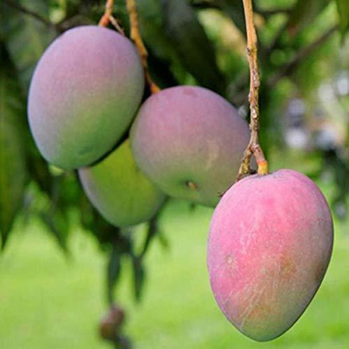 10 Unids/Bolsa Semillas De árboles De Mango Fruta Comestible Nutritiva Semillas De Plantas De Frutas Comestibles Jardín Semillas de mango