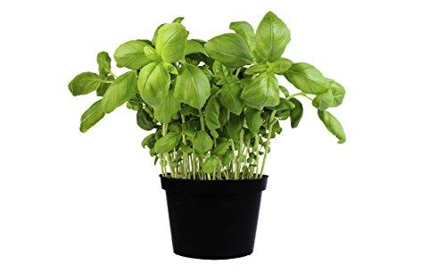 Albahaca Planta Natural Pequeña Con Maceta - Planta Aromática y Culinaria