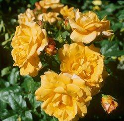 'Postillion' -R-, Strauchrose, ADR-Rose im 4 L Container