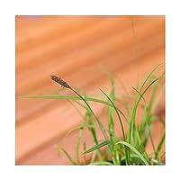 (ビオトープ)水辺植物 コタヌキラン(3ポット) 湿生植物 (休眠株)