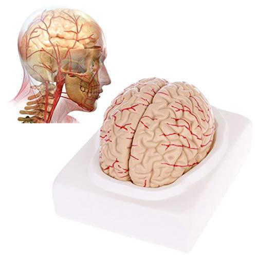 ZJM Human Brain Model Life Size, 8-Teiliges Brain Anatomy-Modell Mit Allen Lappen, Cortexes, Kleinheizlager Und Hirnstamm, Science Classroom-Studie-Anzeigen-Lehrmodell