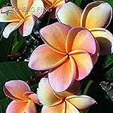 Semillas de la herencia 5 Plumeria colores mezclados colorido de la flor fresca y semillas de alta calidad Plumeria Rubra Frangipani