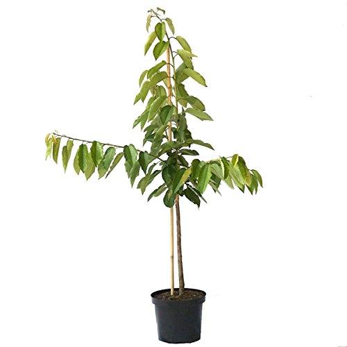 Müllers Grüner Garten Shop Regina Kirschbaum kleinbleibende Süßkirsche Buschbaum 120-150 cm im 9,5 Liter Topf Unterlage GiSelA 5