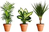 Plantas Purificadoras del Aire con Maceta de Cerámica: Dieffenbachia + Chamaedorea + Dracaena