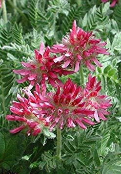 Pets Delite® Anthyllis Montana Rubra (1000 Semillas) Kindney Vetch, Dedos de Damas. Fã¡Cil de Cultivar