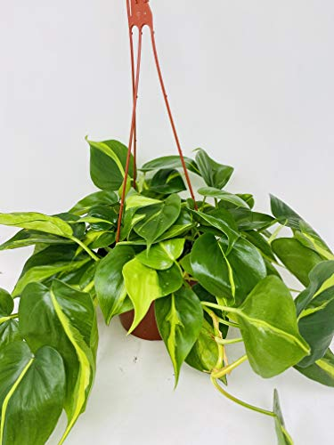 """Brazil Philodendron 6"""" Hanging Basket - Low Light - Easy"""