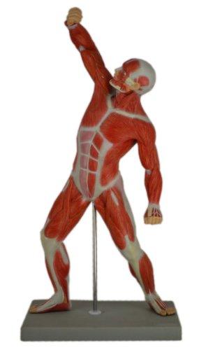 S24.4152 Figura muscular masculina, 50cm