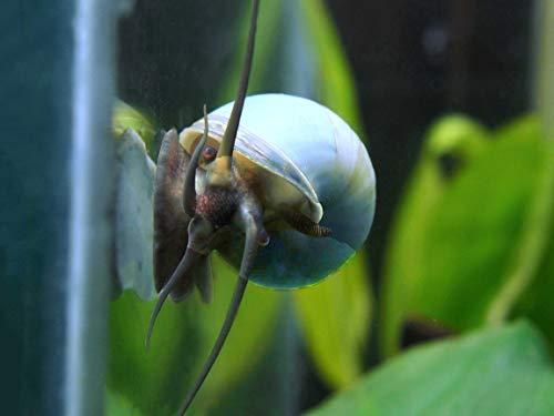 Aquatic Arts 3 Live Blue Mystery Snails Freshwater Aquarium Algae Scraper / Real Living Nano Fish Tank Pet | Glass Cleaning Snail | Natural Decor
