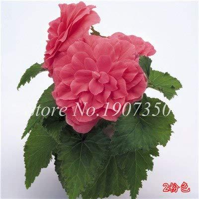 Shopmeeko Graines: 100 Pcs/Mitigé Begonia fleur en pot de bonsaïs d'intérieur Decoratie beau jardin mur usine Décoration pour l'arbre de Noël: 15