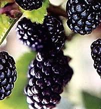 Best jewel blackberry plant Reviews