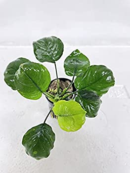 Anubias Barteri Round Leaf Golden Coin Potted Live Freshwater Aquarium Plant for Beginners