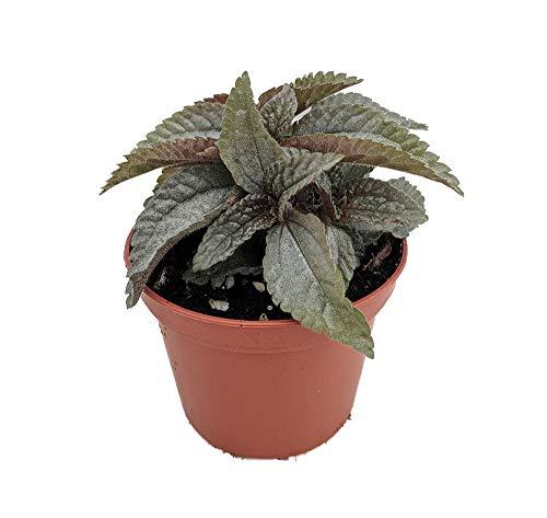 """Silver Cloud Pilea Friendship Plant - 2.5"""" Pot -House Plant/Terrarium/Fairy"""