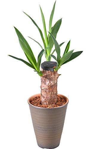 花のギフト社 青年の木 ユッカ 4号 陶器 鉢植え 観葉植物 インテリア グリーン プレゼント