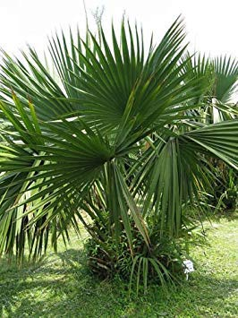 vegherb Sabal Minor - Zwerg Palmetto - 10 Samen