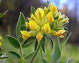 CUSHY Anthyllis vulneraria (100 Semilla) kindney la arveja, las señoras de los dedos. Curación perenne