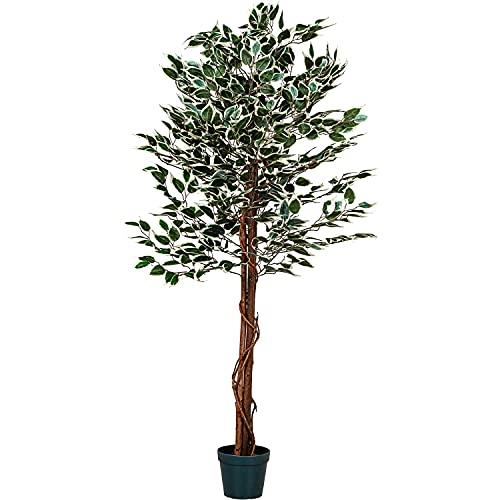 PLANTASIA -  ® Ficus-Baum,