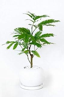 【ミニ陶器ポット・選べる樹種、ポット】エバーフレッシュ・ボールポット ミニ 観葉植物 インテリア グリーン